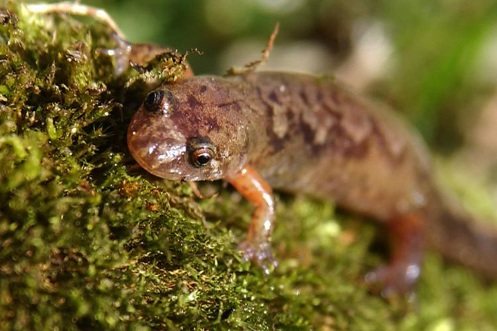 Allegheny Mountain dusky salamanders are a species at risk listed as Endangered in Ontario