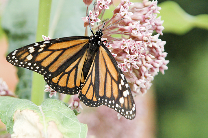 Monarch butterfly is a species at risk listed as Special Concern in Ontario